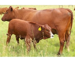 Healthy Calves for sale,Bonsmara,Brahman and Nguni calves