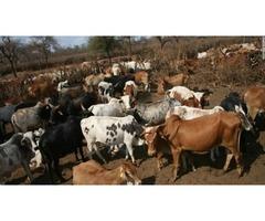 Healthy Calves for sale,Bonsmara,Brahman and Nguni calves    free-classifieds-usa.com