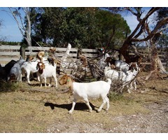 Boer Goats,Sheep And Kalahari red For Sale best prices