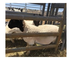 Boer Goats,Sheep And Kalahari red For Sale best prices | free-classifieds-usa.com