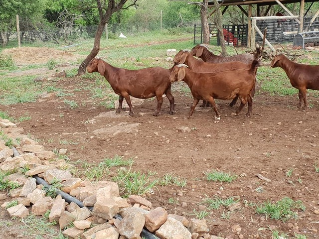 Boer Goats Sheep And Kalahari Red For Sale Best Prices