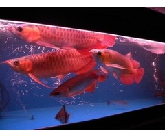 24K Gold arowana Silver Arowana Red Dragon Arowana panda gold Green asain