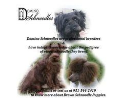 Toy poodle | free-classifieds-usa.com