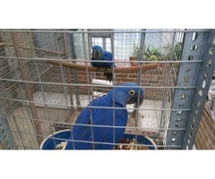 so adorable Hyacinth macaws