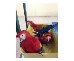 Super cute scarlet macaw