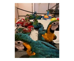 Super tamed macaw blue and gold