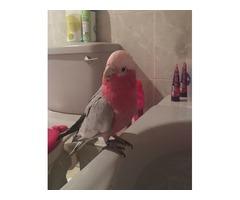 Well tamed Galah Cockatoo