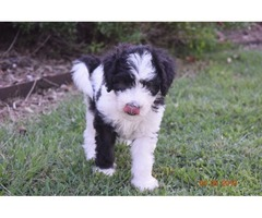 Miniature Multigeneration Labradoodles | free-classifieds-usa.com