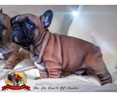 French Bulldog Puppies Lines of Champions of Excellent Pedigree and Genetics !!