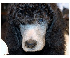 Standard Poodle Puppies AKC  | free-classifieds-usa.com
