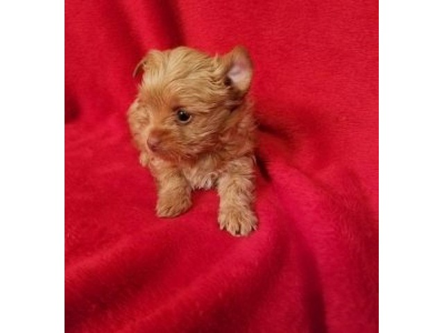 YORKIE PUPPIES | free-classifieds-usa.com