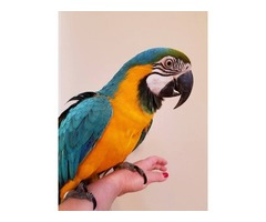 Gold and Blue Macaw Parrots are very sociable and Intelligent macaws
