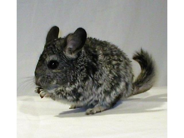 Chinchilla For Sale >> Chinchillas For Sale Animals Mooresville North Carolina