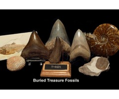 Choose The Precious Fish Fossils From Buried Treasure Fossils