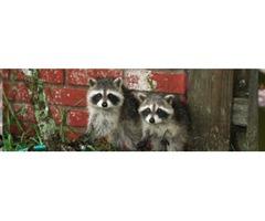 Raccoon Removal Services in Atlanta
