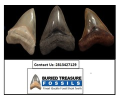 Authentic Mako Shark Teeth For Sale - Buried Treasure Fossils