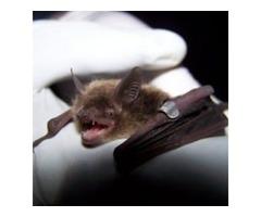 Getting Rid of Bats in Attic