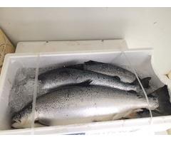Salmon Fish, Atlantic Mackerel, Salmon Fillet