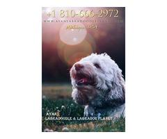 Medium Labradoodle Puppies for Sale | Standard Groodle Puppies for Sale - Ayanlabradoodleplanet