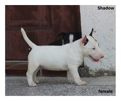 Mini bullterrier puppies