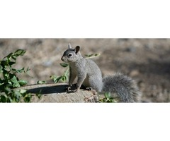 Squirrel Removal Services in Atlanta