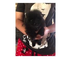 AKC Pomeranian Puppies