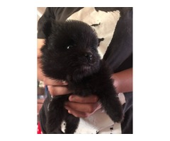 AKC Pomeranian Puppies  | free-classifieds-usa.com