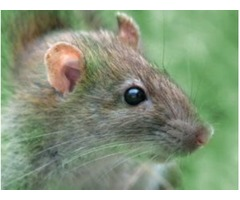 Get Rid of Rodents in Atlanta