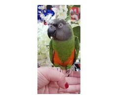We have wonderful and playful Senegal Parrot available