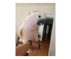 We have Moluccan cockatoo available