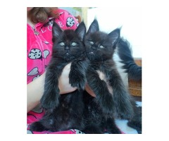 Black maine coon. male