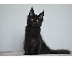 Black maine coon. male | free-classifieds-usa.com
