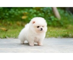 Micro Teacup Pomeranian Puppies For Sale