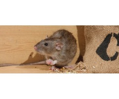 searching for Rat exterminator?