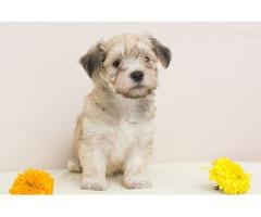 Havanese bichon puppies