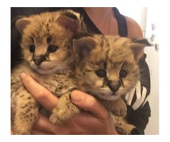 2016 exotic servals and savannah kittens