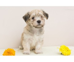 Havanese bichon puppies