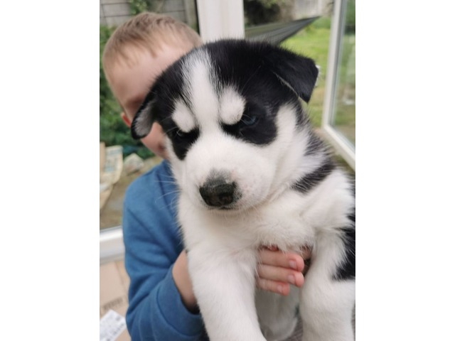 Siberian Husky Puppies For Sale | free-classifieds-usa.com