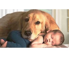 Why English Golden Retriever is best dog for your child?