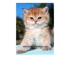 Golden chinchilla scottish fold male