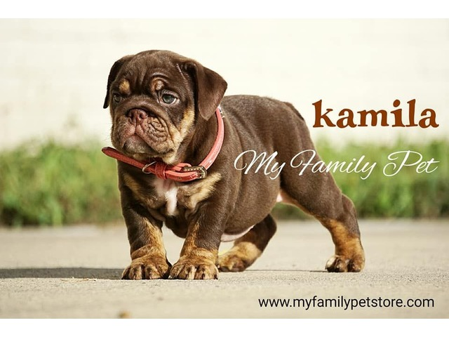 ENGLISH BULLDOG CHOCOLATE TRI | free-classifieds-usa.com