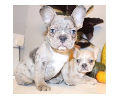 Pure breed  cream pied merle French bulldog puppies