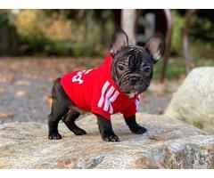 French bulldog puppy   free-classifieds-usa.com