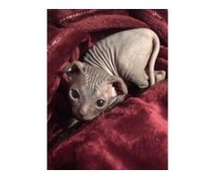 Vary rare breed - Ukrainian Levkoy kitten