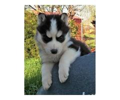 Pure Bred Full Pedigree Siberian Husky Pups