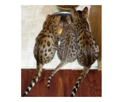 Cute and Lovely Bengal Kittens Available