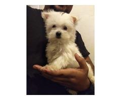 Tiny Maltese  pups