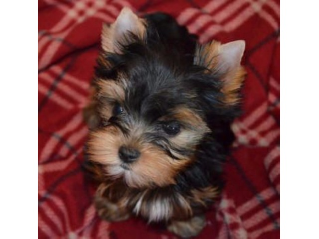 Yorkie Puppies For Adoption Animals Iowa City Iowa