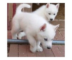 Sweetest Siberian Husky Dog 12 Weeks White/gray