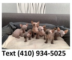 Amazing sphynx kittens for sale.